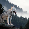 Two Paws Up: The Ecological Role of Wolves